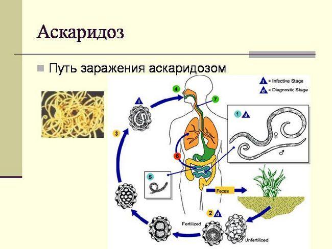 Возбудитель аскаридоза