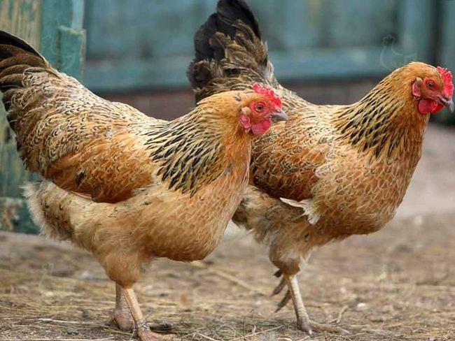 Чем и как лечить глисты у цыплят?