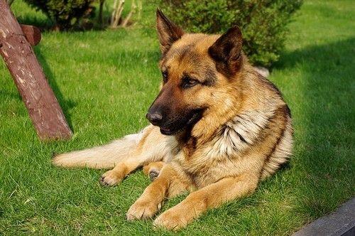Что делать если у вашей собаки дирофиляриоз?