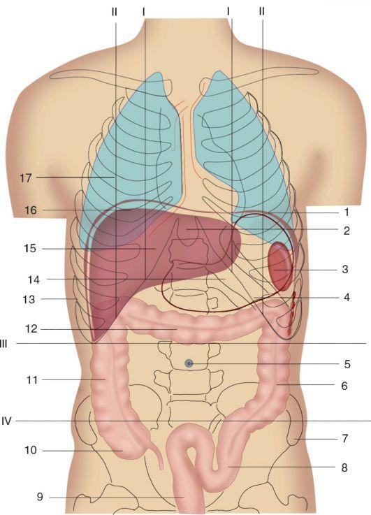 Скелетотопия поджелудочной железы