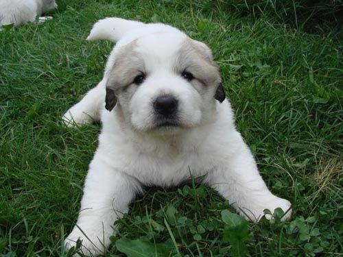 Дієта собаці при панкреатиті - лікувальний корм, харчування, годування, чим годувати?