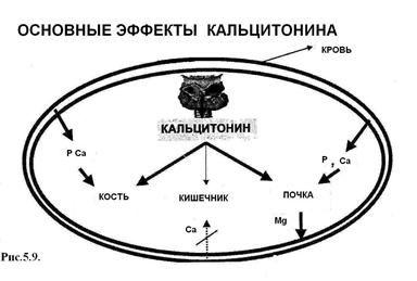 Функции калицитонина