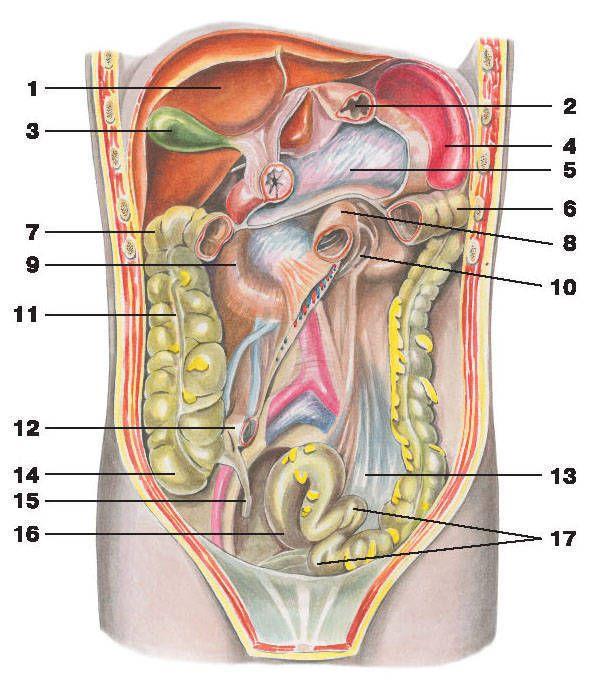 Расположение селезенки и желудка