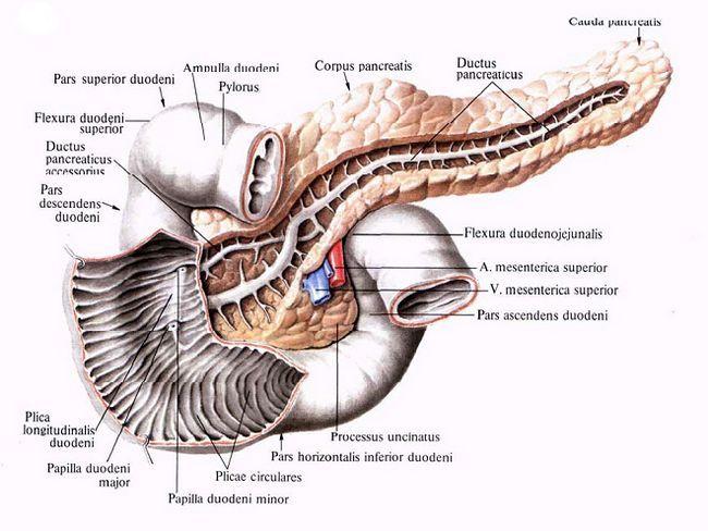 Части поджелудочной железы