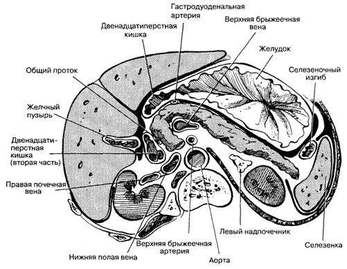 Эндокринная часть поджелудочной железы
