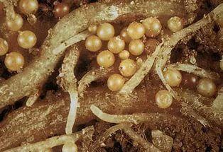 Яйца глистов в кале, фото