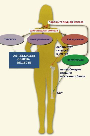 Какими должны быть показатели гормонов щитовидки у женщины