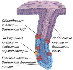 Капсула поджелудочной железы