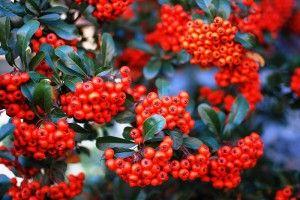 Красная рябина — для здоровья и любви