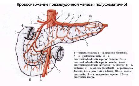 Кровопостачання підшлункової залози, схема