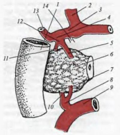 Кровоснабжение головки поджелудочной железы