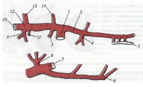 Схема кровоснабжения поджелудочной железы