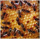Мед: можно ли при панкреатите, заболевании поджелудочной железы