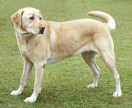 Некроз поджелудочной железы у собак - панкреонекроз