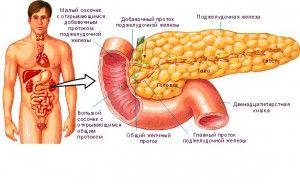 Особливості будови і розташування підшлункової залози людини, топографія і анатомія