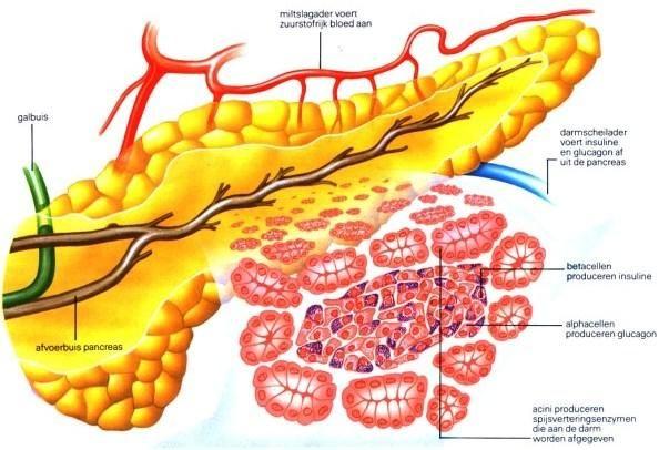 Поджелудочная железа: строение функции гормоны