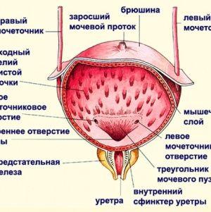 Особенности строения мочевого пузыря