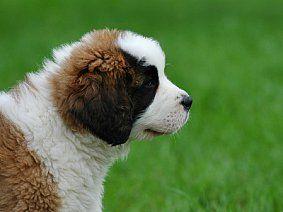 Острый и хронический панкреатит у собак: симптомы, лечение