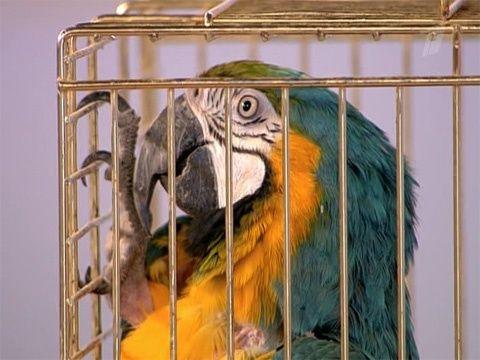 Панкреатит у попугая