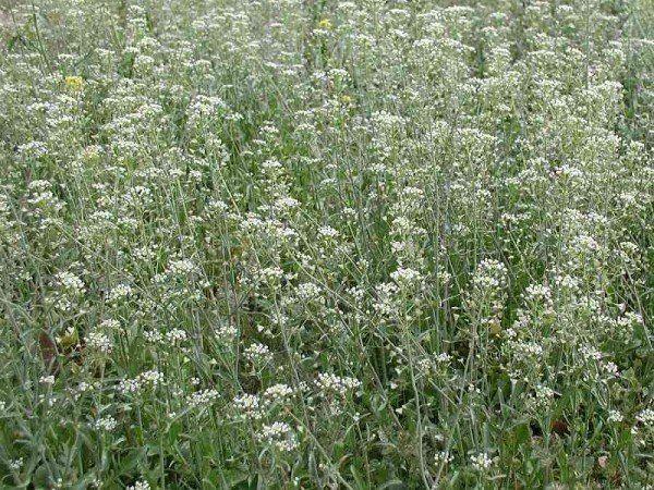 Пастушья сумка – лечебные свойства растения для женского здоровья