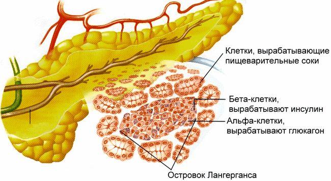 Поджелудочная железа - важный внутренний орган в организме человека