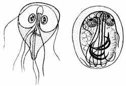 Симптомы лямблий в организме взрослого человека