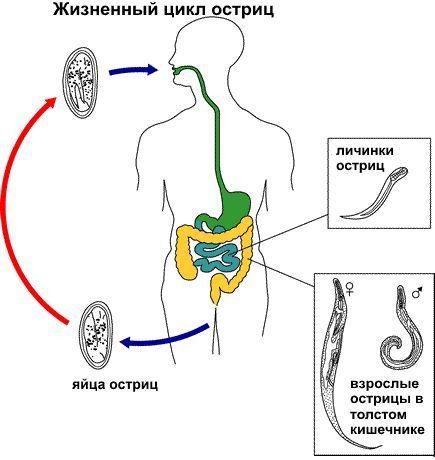 Скільки живуть гострики в організмі людини, життєвий цикл, розвиток