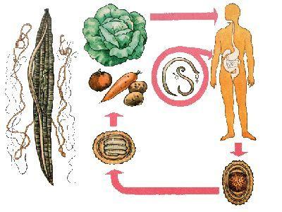 Способи передачі аскаридоза, як уберегтися від паразитів?