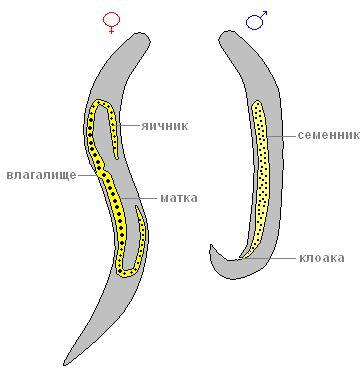 Стадии развития и жизненный цикл человеческой аскариды