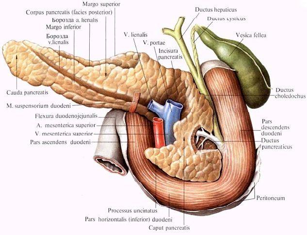 Що таке підшлункова залоза?