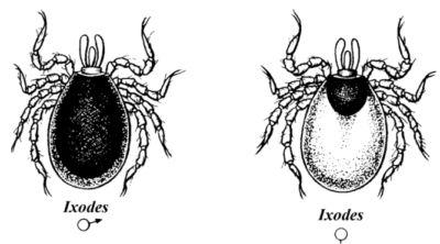Жизненный цикл иксодовых клещей и меры борьбы с вредителями