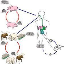 Жизненный цикл описторха, развитие и инкубационный период описторхоза